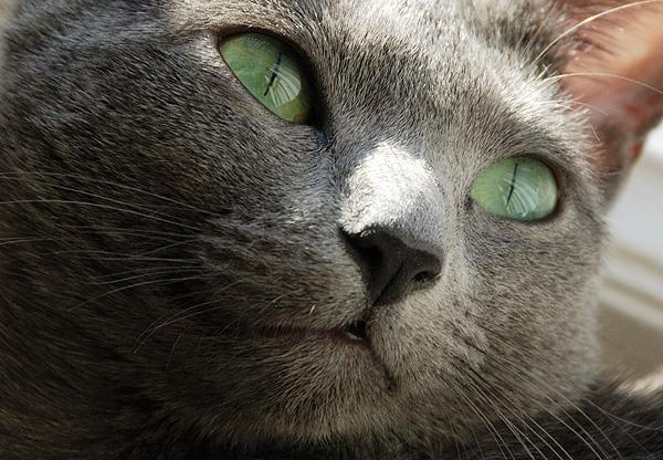 Venäjänsininen kissa.