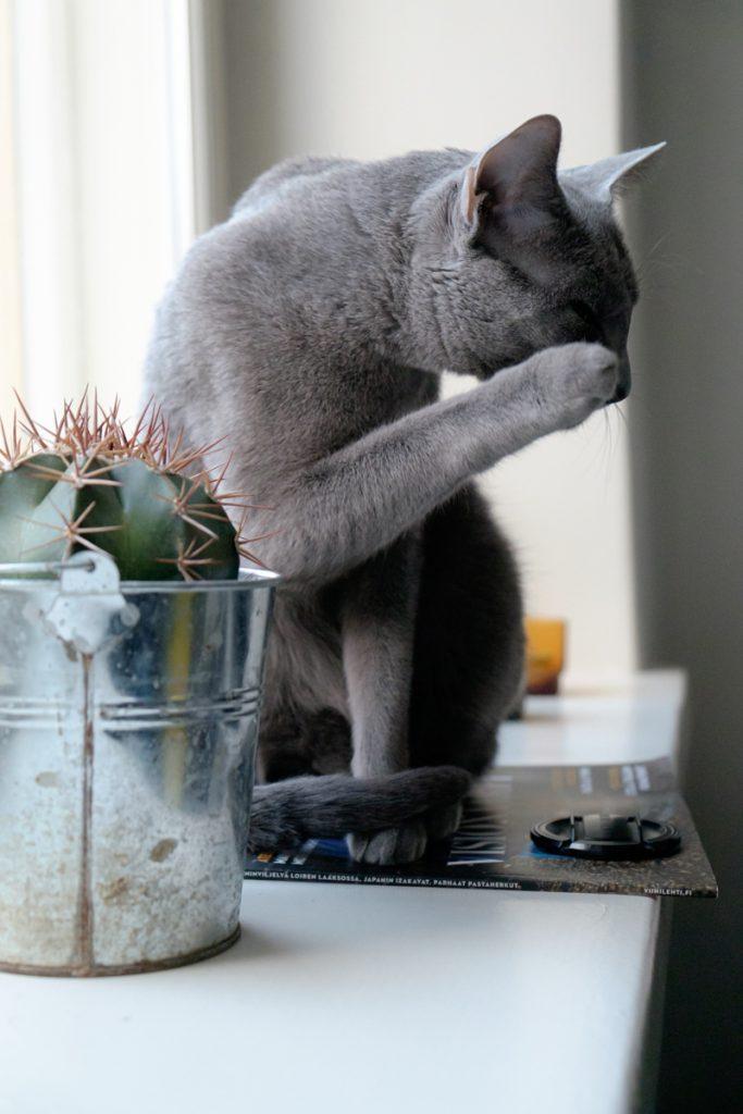Venäjänsininen kissa kaktuksen parissa.
